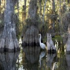 Everglades_National_Park_cypress