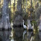 Everglades_National_Park_cypress