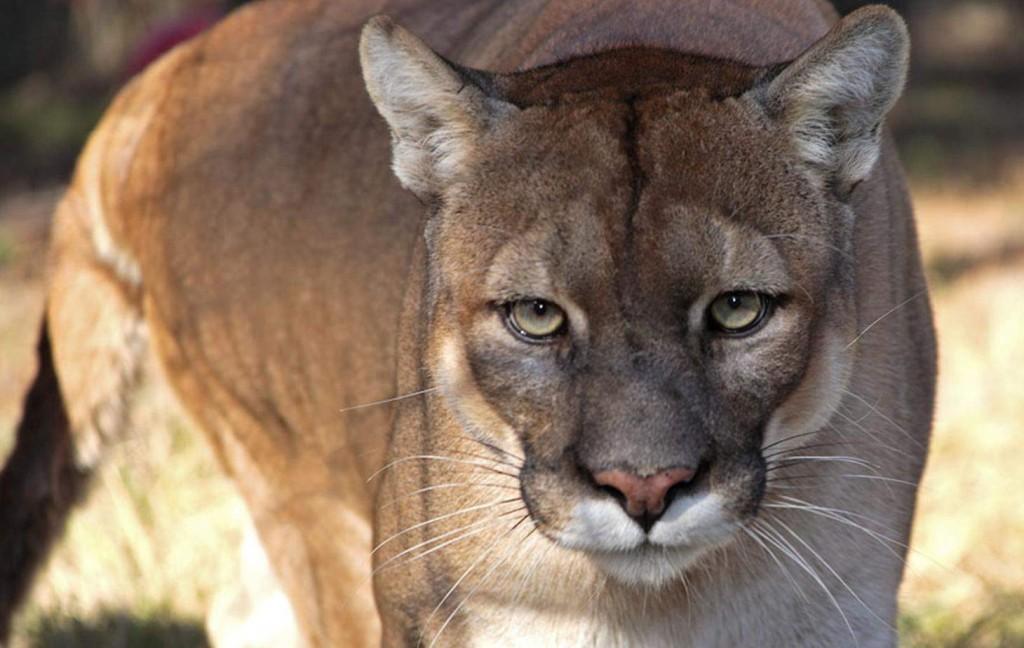 Florida Panther Everglades