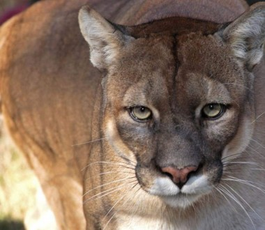 Florida Panther Everglades