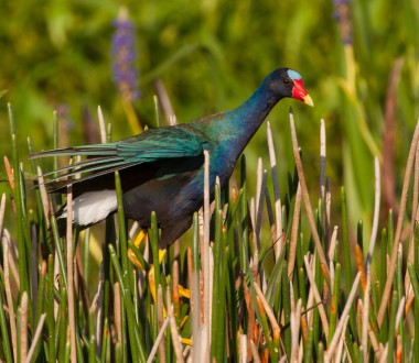 A Purple Gallinule looking for small fish to eat.