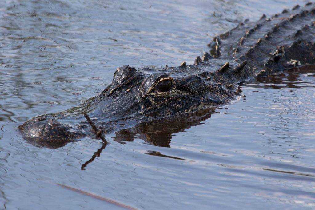 Spotting Alligators