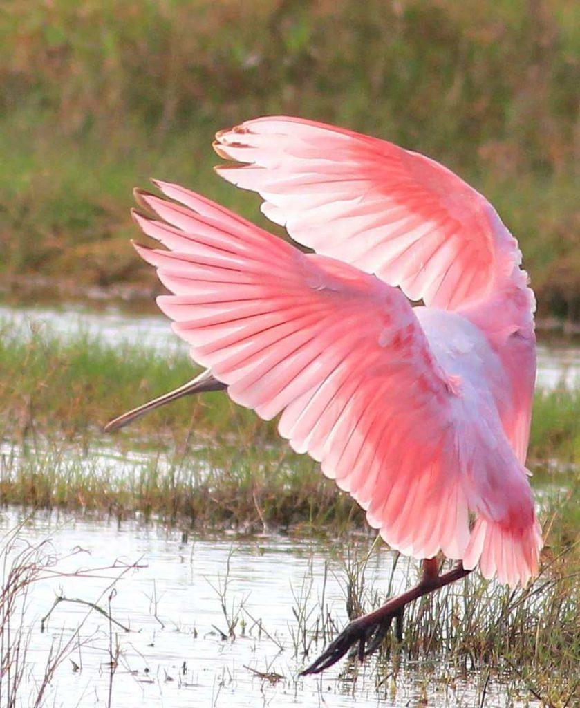 Everglades Birds Roseate Spoonbill