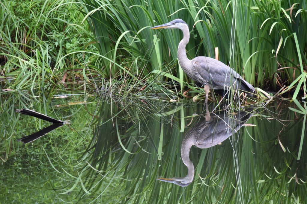 great blue heron wading in the water - airboat rides fort lauderdale