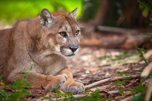 Florida Panther in the Everglades