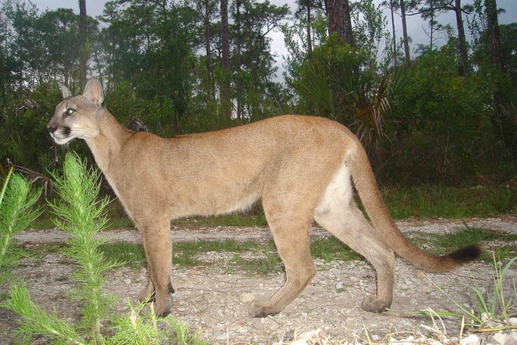 Florida Panther Fort Lauderdale Everglades Tour