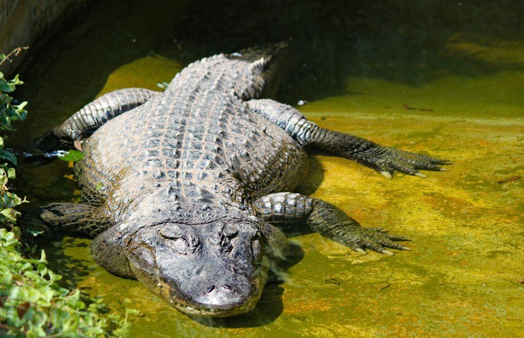 Everglades alligators Fort Lauderdale EvergladesTour
